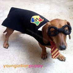OMG this wicked cute. a Wiener dog as Harry Potter. I wish I could dress up my doxie like this. Family Halloween Costumes, Pet Costumes, Halloween 2014, I Love Dogs, Puppy Love, Harry Potter Dog, Weenie Dogs, Dachshund Love, Dog Life