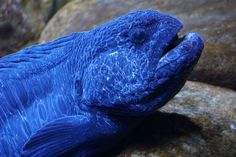 Wolf Eel Photo by Tracy Horvath — National Geographic Your Shot