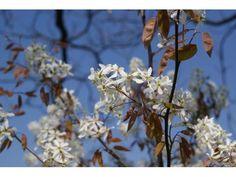 Amélanchier du Canada, 50/60cm, P9 - Amélanchier Canadensis : acheter en ligne sur Jardins Du Monde. Pépinière, jardinerie en ligne. Livraison partout en Europe