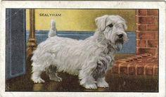 Sealyham Terrier Pictures