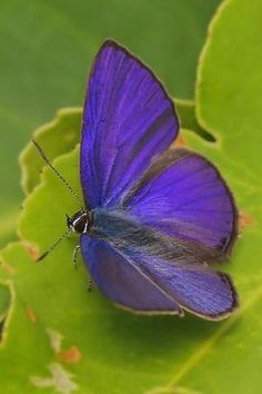 Ciliate Blue par bbooky