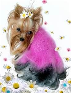 Yorkshire Terrier Puppies - Bing Images
