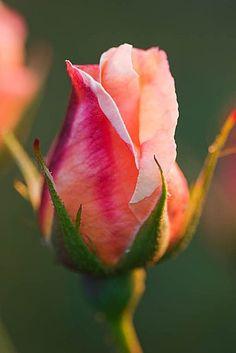 Rose#Rose flowers #Roses #Rose garden