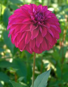 Earl Miner - Corralitos Dahlias.  From last years tuber.