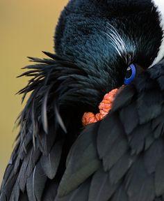 Imperial Cormorant Eye, Saunders Island, Falkland Islands