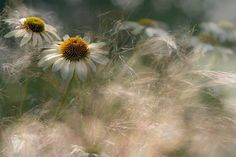 Jacky Parker's Soft Tones of Autumn (above) won the People's Choice Plant Portraits award at the International Garden Photographer of the Year award Wild Flowers, Beautiful Flowers, Meadow Flowers, Gravure Photo, Lightroom, Photoshop, Just Dream, Illustration, Felder