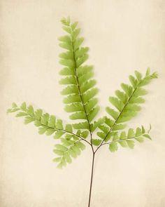 botanical_print_maidenhair_fern_by_allison_trentelman_grande.jpg (479×600)