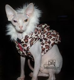 An odd eyed hairless sphynx cat bred by Beeblebrox Sphynx. .beeblebroxsphynx.com & Costume: Sphynx Cat Clothes Hoodie - Halloween Tiger Costume for ...
