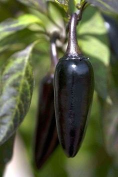 Hungarian Black Pepper  Follow our unique garden themed boards at…