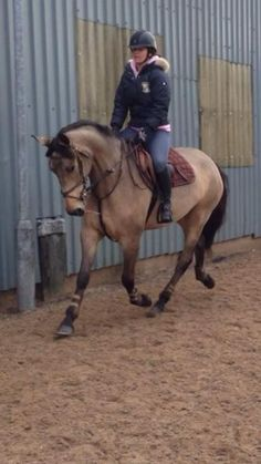 Pauldarys Got To Be Dun for sale | HorseDeals.co.uk