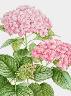 Hydrangea art print Vintage botanical prints garden wall art home . Hortensia Hydrangea, Hydrangea Macrophylla, Pink Hydrangea, Hydrangeas, Botanical Flowers, Botanical Prints, Botanical Gardens, Art Floral, Flower Images