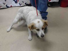 CARLTON - ID#A451993 - located at Harris County Animal Shelter in Houston, Texas - 2 year old Neutered Male Brittany mix - at the shelter since Jul 23, 2016.