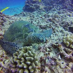 Turtle with best friend forever in Hawaii!  #Hawaii #scuba #Gopro #diving with…