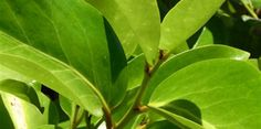 Screen - Puka -  Griselinia  lucida