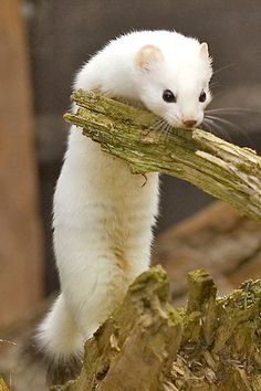 Ermine.Ermine is the common name for the stoat more especially in its white winter coat. You are very lucky if see an ermine in the wild. They are swift, silent creatures that can hunt and burrow in the forest unnoticed. Ermines are mostly nocturnal, which means they spend most of their time moving and hunting at night.