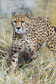 Cheetah standing in the high dry grasses II (by Tambako the Jaguar)