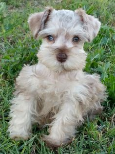 Chocolate Merle Miniature Schnauzer with one Blue and one Green Eye.