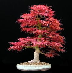 Potted mini maple tree prizes