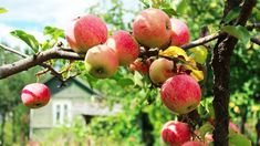 With a little effort and planning, fruit trees can transform a backyard into an orchard. The right timing, tools and tree selection make all the difference. Organic Fruit Trees, Fruit Tree Nursery, New Fruit, Garden Trees, New Tricks, Shrubs, Gardening Tips, Backyard, Effort