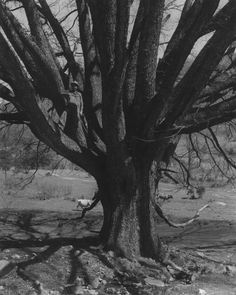 The largest elm tree in Tennessee, located near Butler, Tennessee. Provides shade for one acre. Date: 4/20/1946