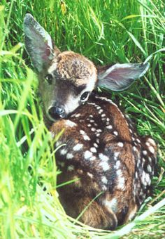 How to know if a fawn (baby deer) actually needs your help