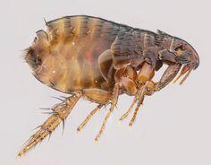 flea-11.jpg (1600×1253)