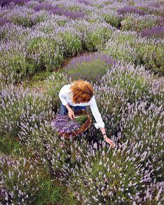 ♡lavanda - lavender fields forever for you Linda Lee Lavender Cottage, Lavender Blue, Lavender Fields, Lavender Ideas, Lavender Flowers, Color Lavanda, Malva, Lavander, Champs