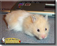 teddy bear hamster - Google Search