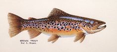 Hal C Olson: Brown Trout Painting