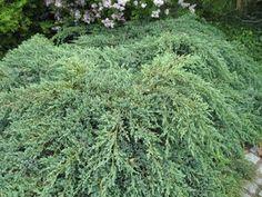 Juniperus squamata 'Blue Carpet' Juniperus Squamata, Blue Carpet, Trees And Shrubs, Herbs, Plants, Landscaping, Herb, Plant, Planets
