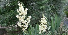 Die Fädige Palmlilie, auch Garten-Yucca genannt, ist äußerst anspruchslos. Sie wächst problemlos auf allen durchlässigen Böden und stellt im Hochsommer ihre prächtigen Blütenstände zur Schau. Hier finden Sie alle wichtigen Infos über die Staude.