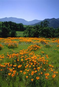 California Poppies on Mount Diablo, Galen Rowell.  Color palette. I like this piece because its happy and full of nature. This provides inspiration for my work when i have to develop ideas to make selhurst seem a better place