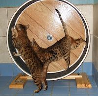 I so need to do this (or get someone else to build it for me): How to Build a Cat Exercise Wheel