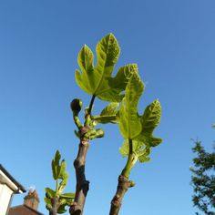 12 May 2015: Young fig leaves reach for the sky. Fingers crossed that the one fig left after the stormy weather makes it to maturity and my mouth in due time.