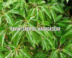 L'huile essentielle de ravintsara contre le rhume et la grippe. He Tea Tree, Madagascar, Doterra, Plant Leaves, Herbs, Plants, Plus Populaire, Actus, Top 5