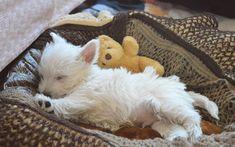 West Highland White Terrier, little fluffy dog, white puppy, cute animal, sleeping dog Westie Puppies, Terrier Puppies, Cute Puppies, Cute Dogs, Dogs And Puppies, Cute White Puppies, Chihuahua Dogs, Terrier Mix, West Highland Terrier Puppy