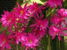 Epiphyllum 'Coral Geisha'