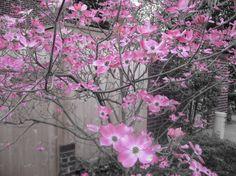 Pink Dogwoods - pink