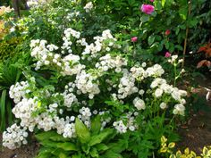 aim e vibert 1841 fleurs doubles blanches 500cm rosiers sans pines thornless roses. Black Bedroom Furniture Sets. Home Design Ideas