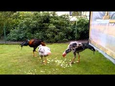 O Shamo Hühner - YouTube