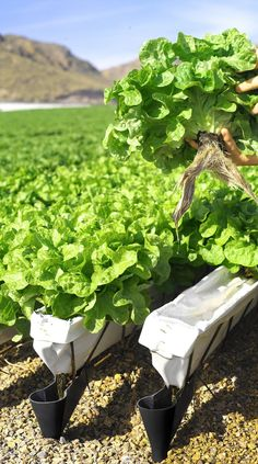 4 Easy Steps to Set-Up Your Own Backyard Aquaponics System - Tools And Tricks Club Organic Gardening, Hydroponic Gardening, Plants, Garden, Vertical Farming, Growing Plants, Cool Plants, Healthy Plants, Backyard