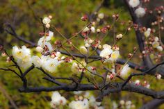 an ume blossom, Tokyo, Japan.  Winter has gone. Spring has come