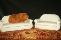 Must have voor Marina: Guinea Pig Sofa