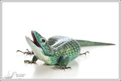 Abronia graminea .. Arboreal Alligator Lizard!