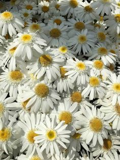 """""""This is a beautiful perennial with long-lasting blooms and good durability in the landscape,"""" said one AAS Judge about our AAS Winner Sweet Daisy Birdy Leucanthemum. This Shasta Daisy is a medium height bright spot (great for moonlight gardens) that will provide years of beauty with very little maintenance. Sun And Water, Garden Soil, Plant Needs, Green Plants, Summer Garden, Organic Gardening, Container Gardening, Perennials, Beautiful Flowers"""