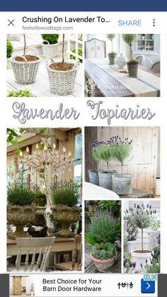 Stanard lavender