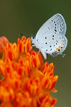 Hairstreak On Butterfly Weed Close Up Photograph  - Hairstreak On Butterfly Weed Close Up Fine Art Print