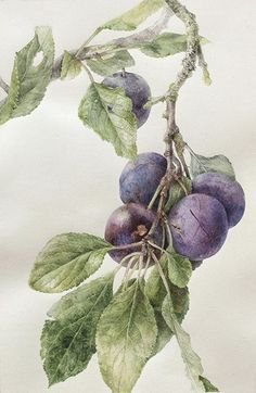 Learn botanical art from Elaine Searle, award-winning artist and tutor. I offer online tuition, workshops and botanical art holidays. Coral Painting, Fruit Painting, Botanical Flowers, Botanical Prints, Watercolor Flowers, Watercolor Art, Illustration Botanique, Botanical Drawings, Fruit Art