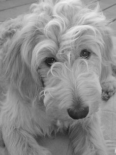 this looks like Bailey! Mini Goldendoodle, Goldendoodles, Labradoodle, All About Animals, Animals Of The World, Animal Pictures, Cute Pictures, Irish Wolfhound, Therapy Dogs