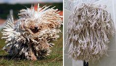 Raça-Komondor-se-parece-com-uma-vassoura-de-limpeza